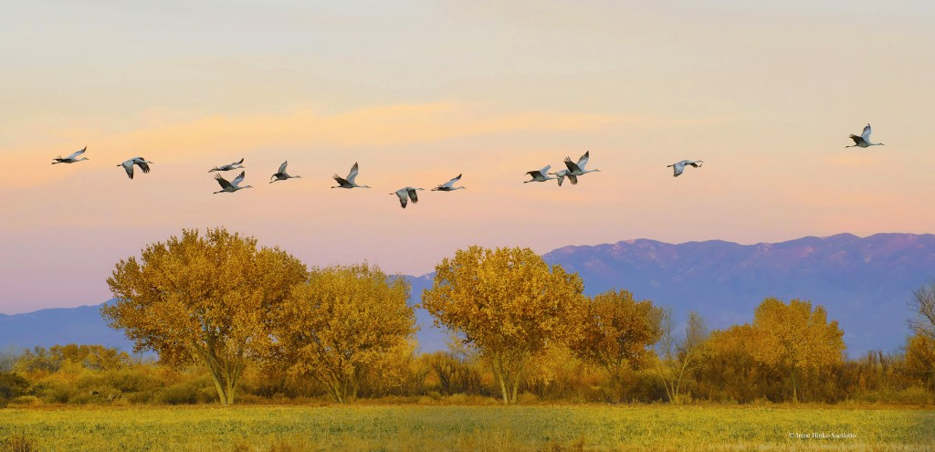 Sandhill Cranes flying from field