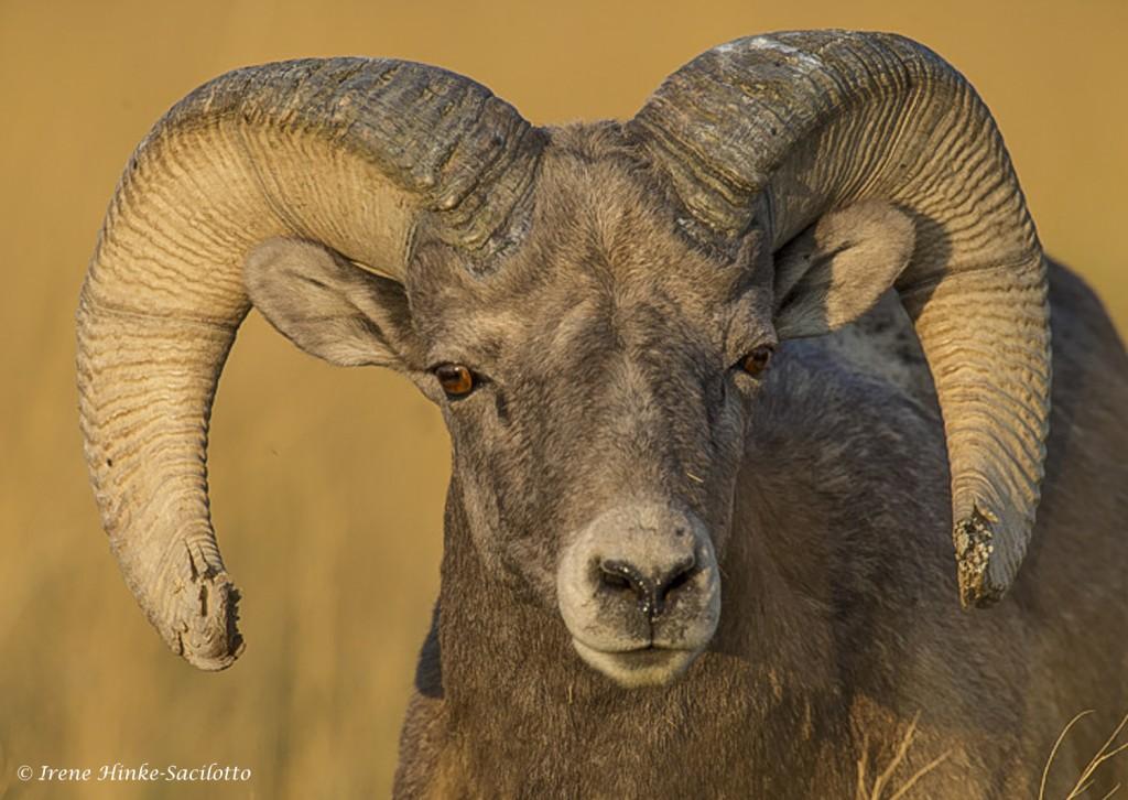 Bighorn Ram face on