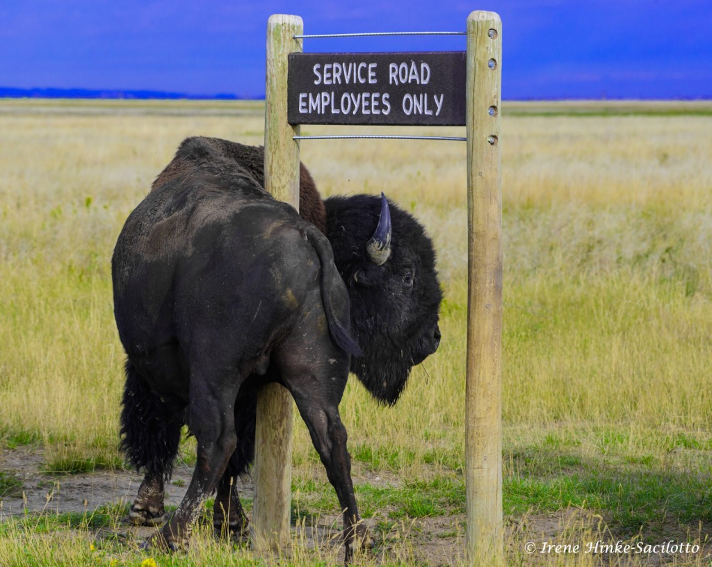 Bison Scratching on sign