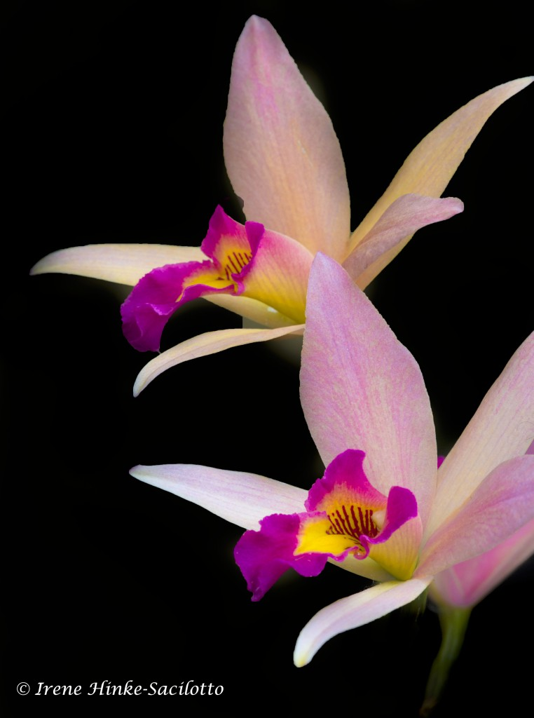 Orchid Pair at Longwood Gardens Conservatory
