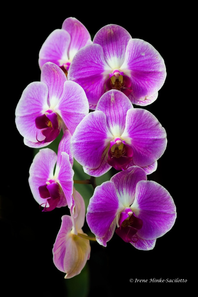 Orchids with shadowed background