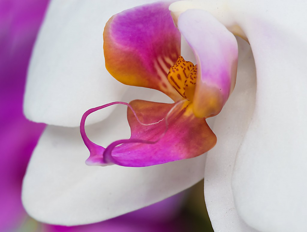 Orchid purple center
