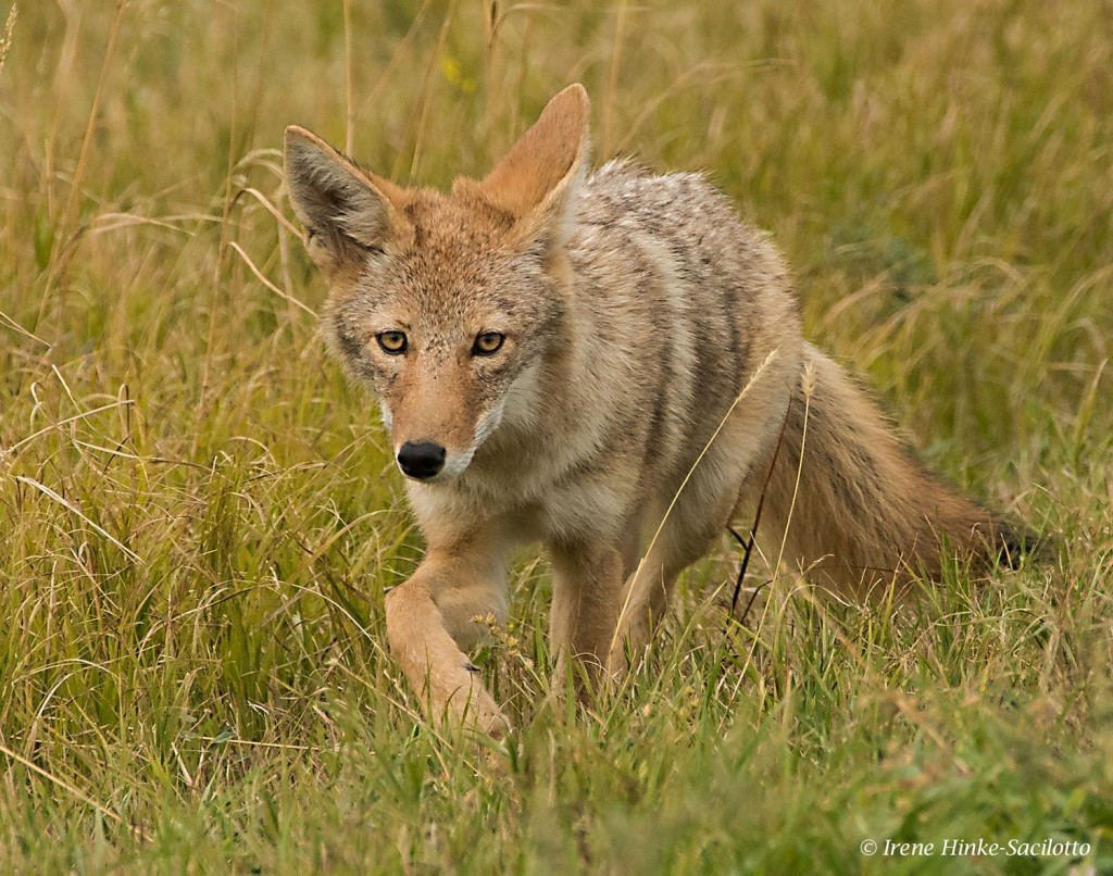 Coyote stalking prey