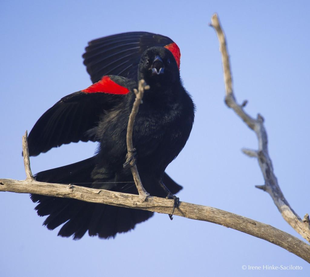 Red-winged Black Bird singing and displaying