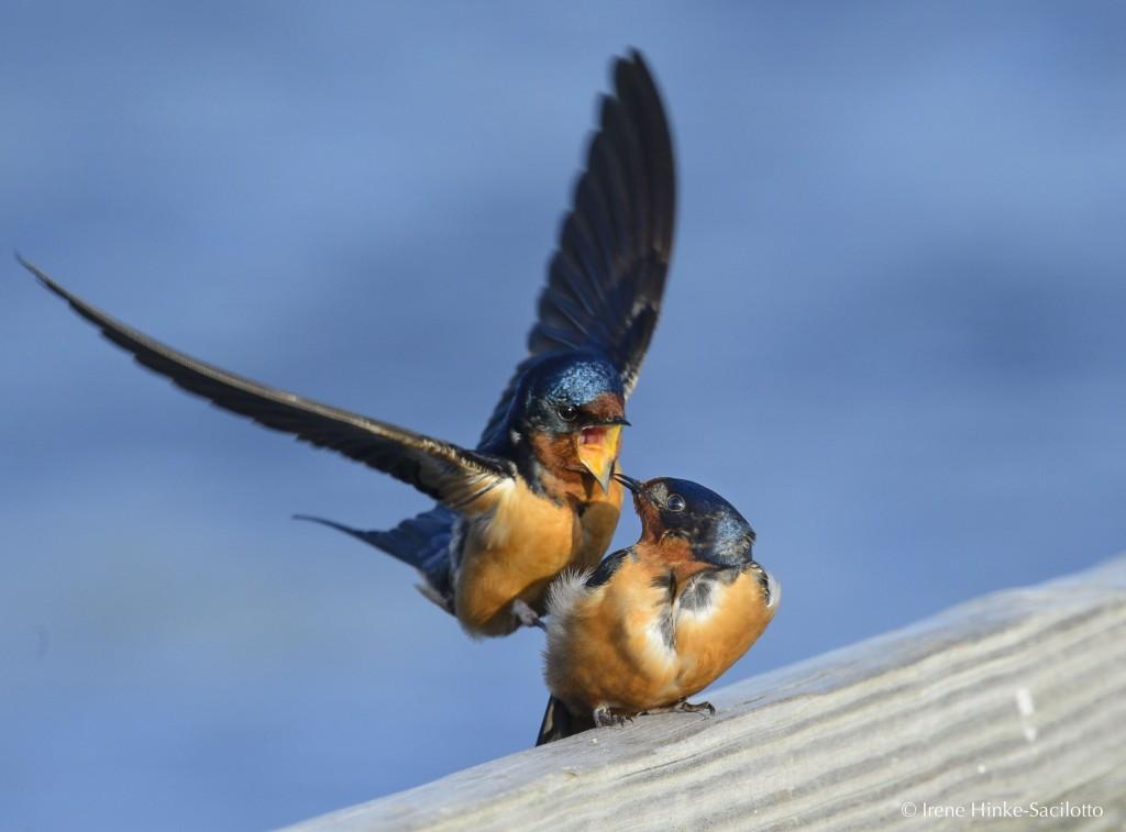 Swallows mating on Assateague Island