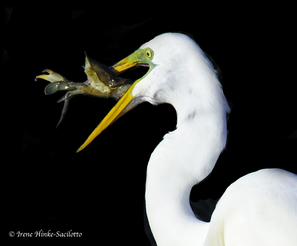 Great Egret eating crab on Tangier Island