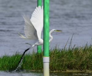 Great Egret flying between green poles