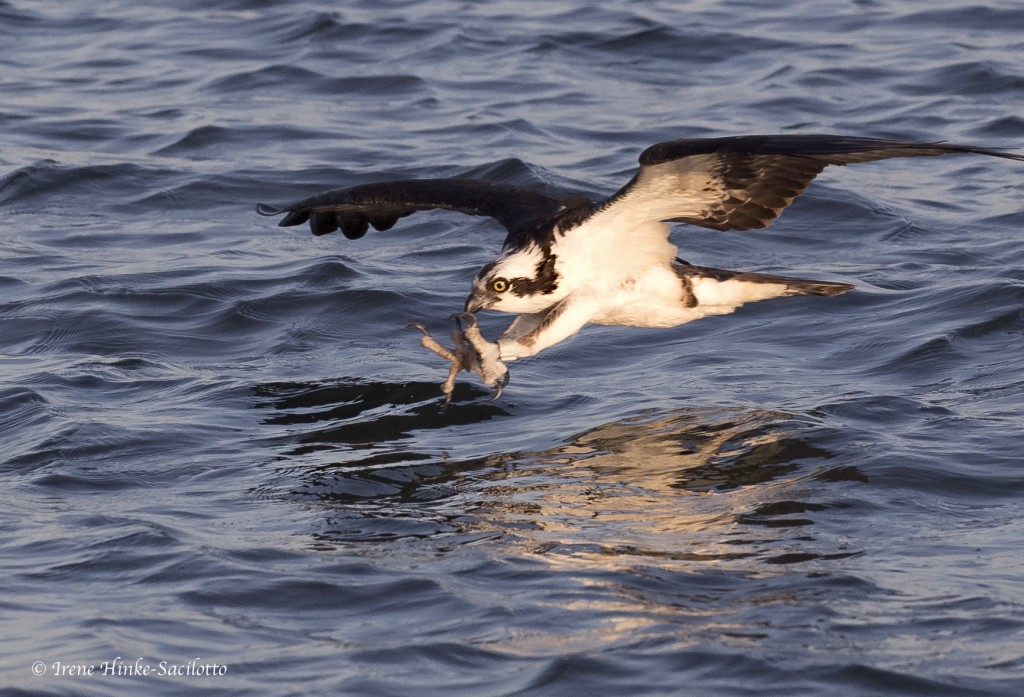 Osprey Fishing off Tangier Island feet first.