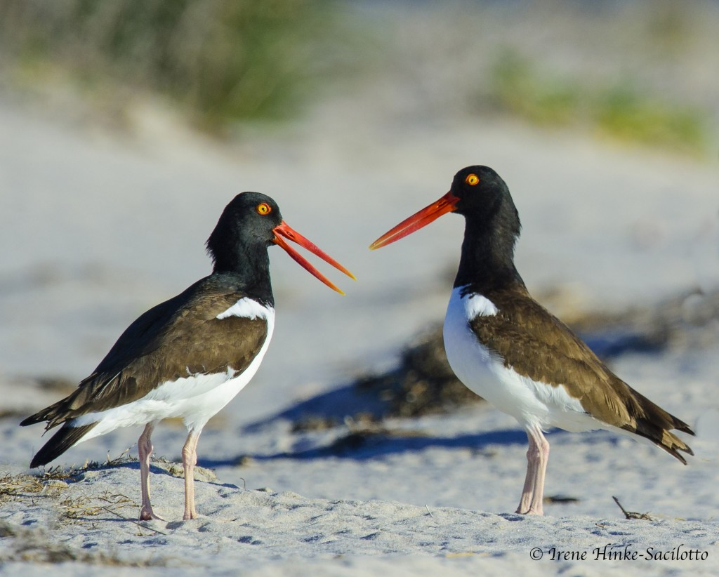 American Oystercatchers pair on Tangier Island beach