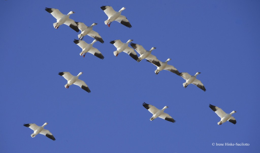 Snow geese flying in formation against blue sky.
