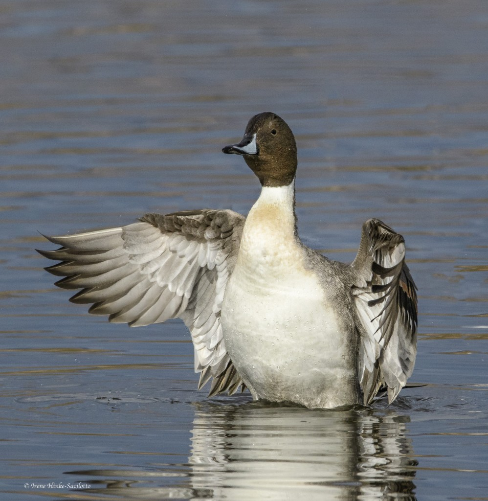 Pintail duck flapping