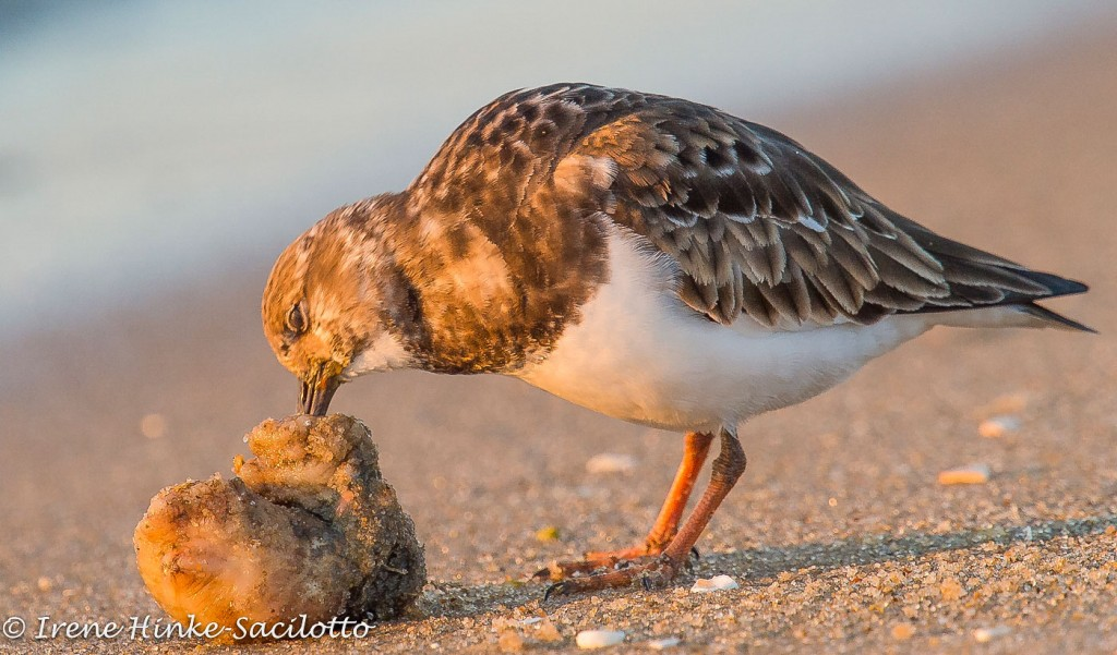 Rudy Turnstone eating on beach