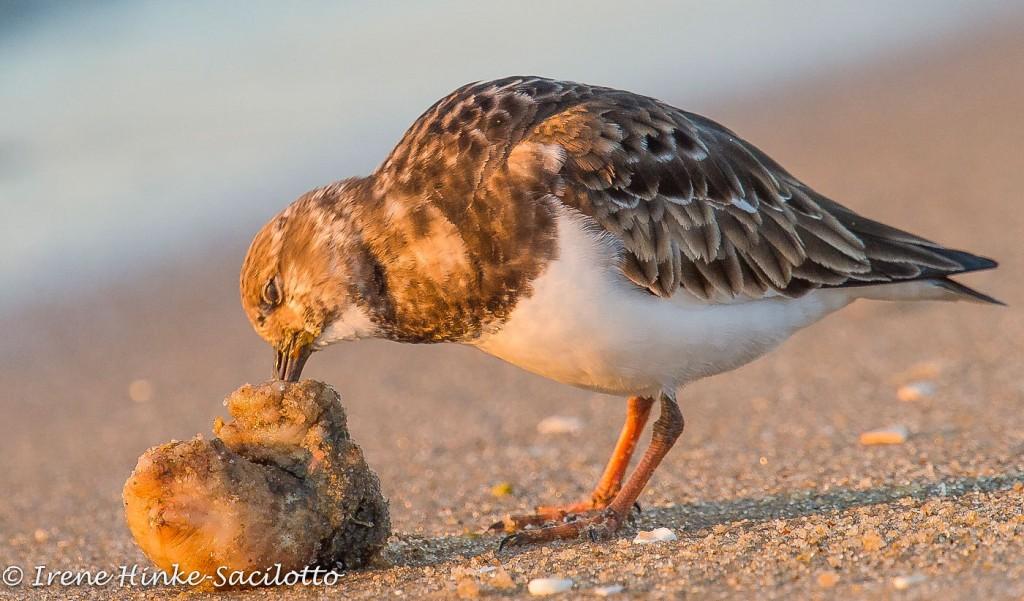 Rudy Turnstone eating on beach
