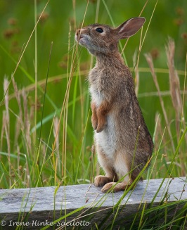 RabbitVert-16479web2