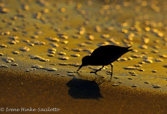 SunriseSandpiper-00061web
