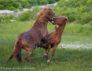 Wild_Horse_Fight3-19382