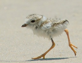 piping-plover-4web