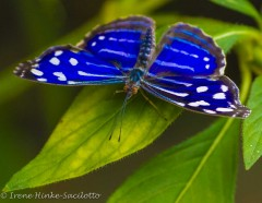 BlueWhiteButterfly