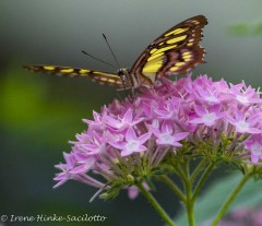 Yellowgreenbutterfly