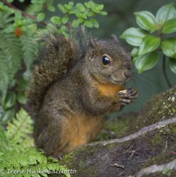Red-TailedSquirrel