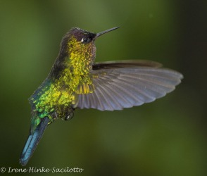 HummingbirdGoldenFeathers_TGG2465-1goldhumHummercolorfly2_