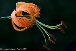 OrangeLily1black-2636