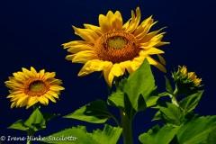 Sunflower3-web2