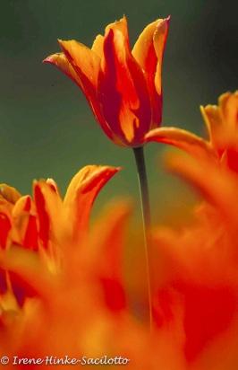 TulipOutfocusFOre-web2