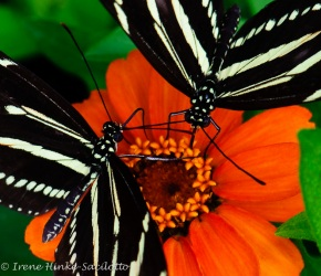 butterfly_pair_orange_flower_640_ISO-4252tigher1