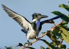 AMAZONKingfisher-3650_copy