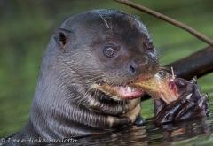Otterfish-6577web