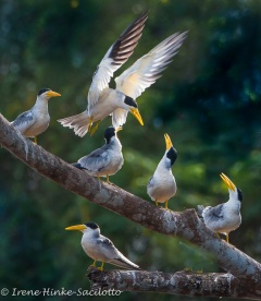 ThickBilled-Terns-7241web2