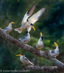ThickBilled-Terns-7241web2