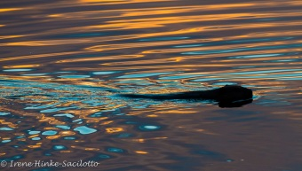BeaverRipple-0627web
