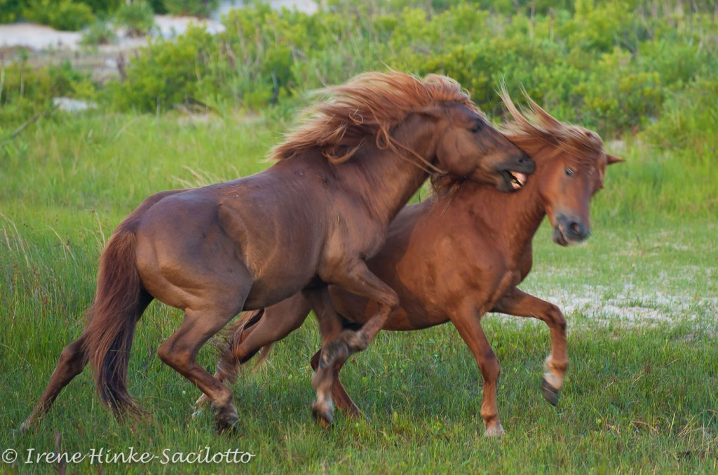 A sight that is possible on this photo workshop on Assateague Island.