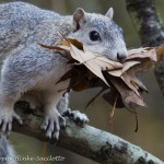 Squirrel gathering leaves for nest at Chincoteague