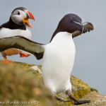 Atlantic Puffin chasing Razor-billed Auk in Iceland. Great location to for photographing wildlife and scenry.