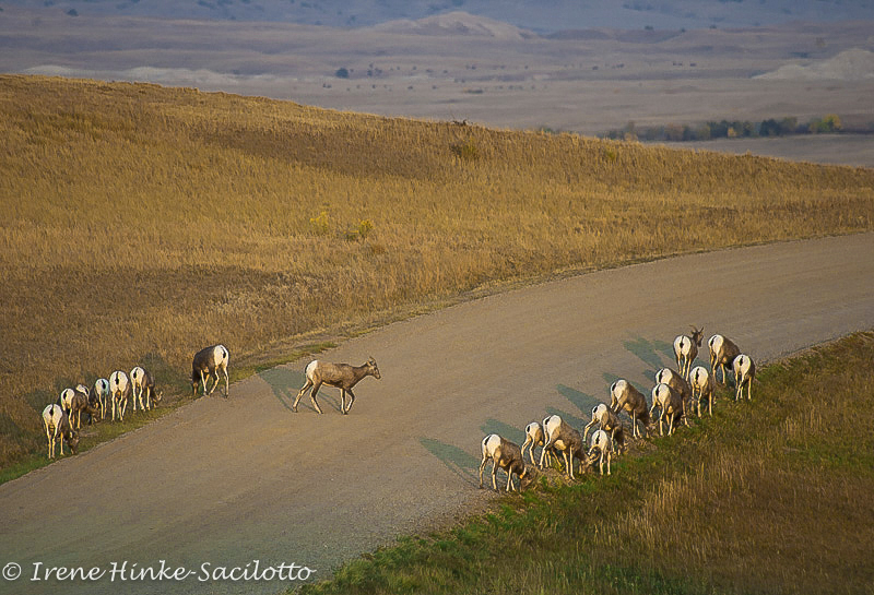 Bighorn Sheep grazing along road in the Badlands taken on photo tour.