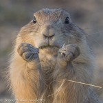 Prairie Dog eating. Great shot on photo tour.