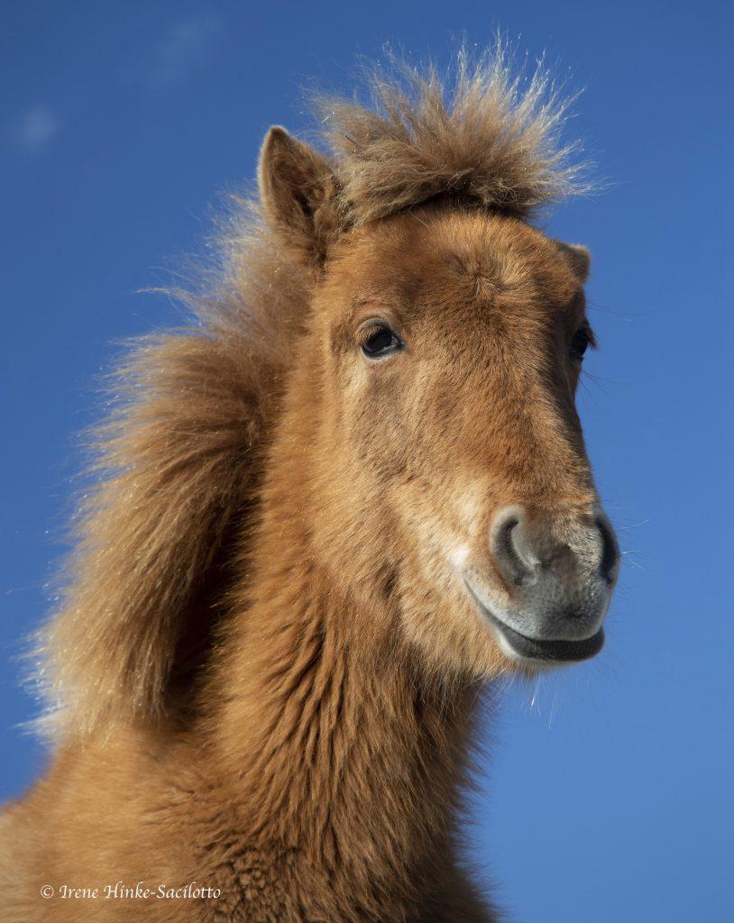 Wild pony on Assateague Island head shot.