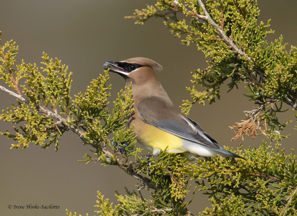 Cedar Waxwing during stop over on Assateague Island.