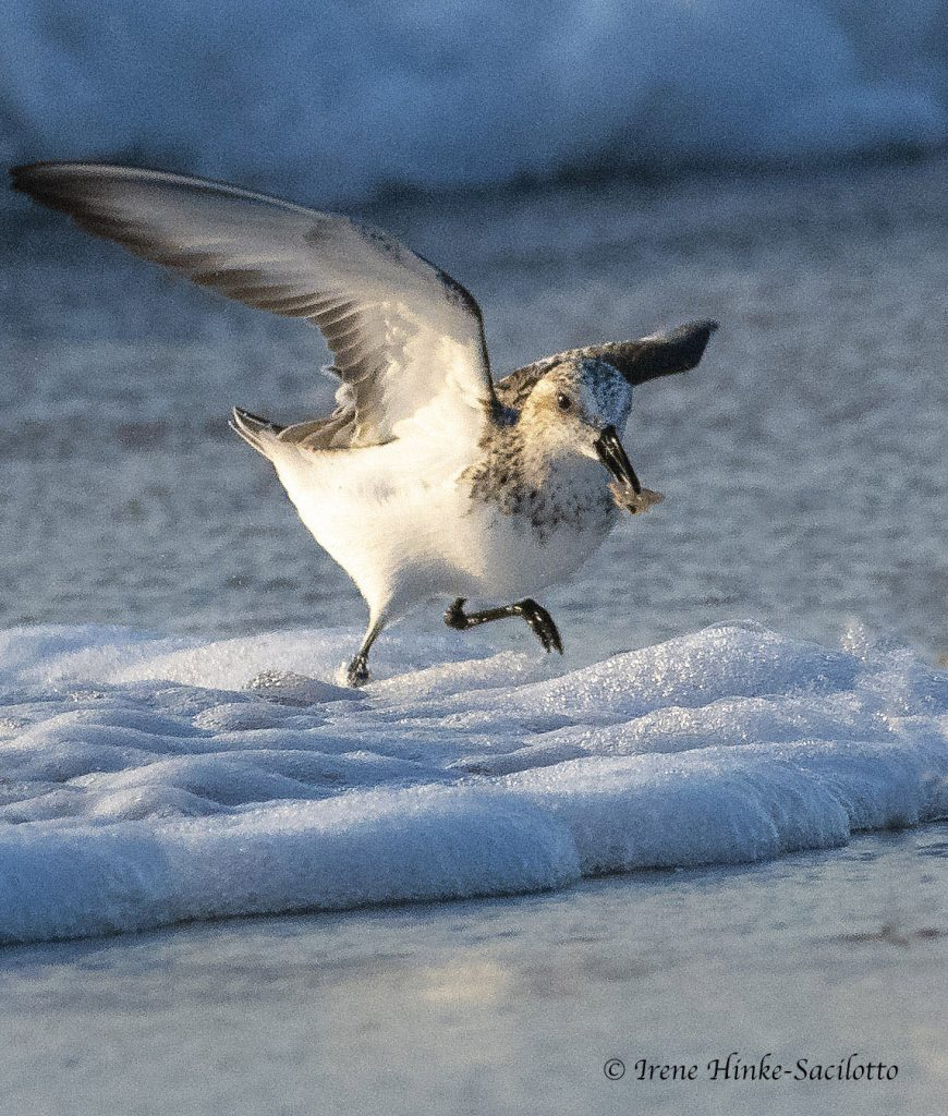 Sanderling running from wave