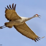 Sandhill Crane in Flight Calling