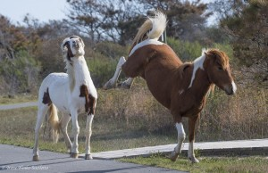 Wild Horses fighting on Assateague Island