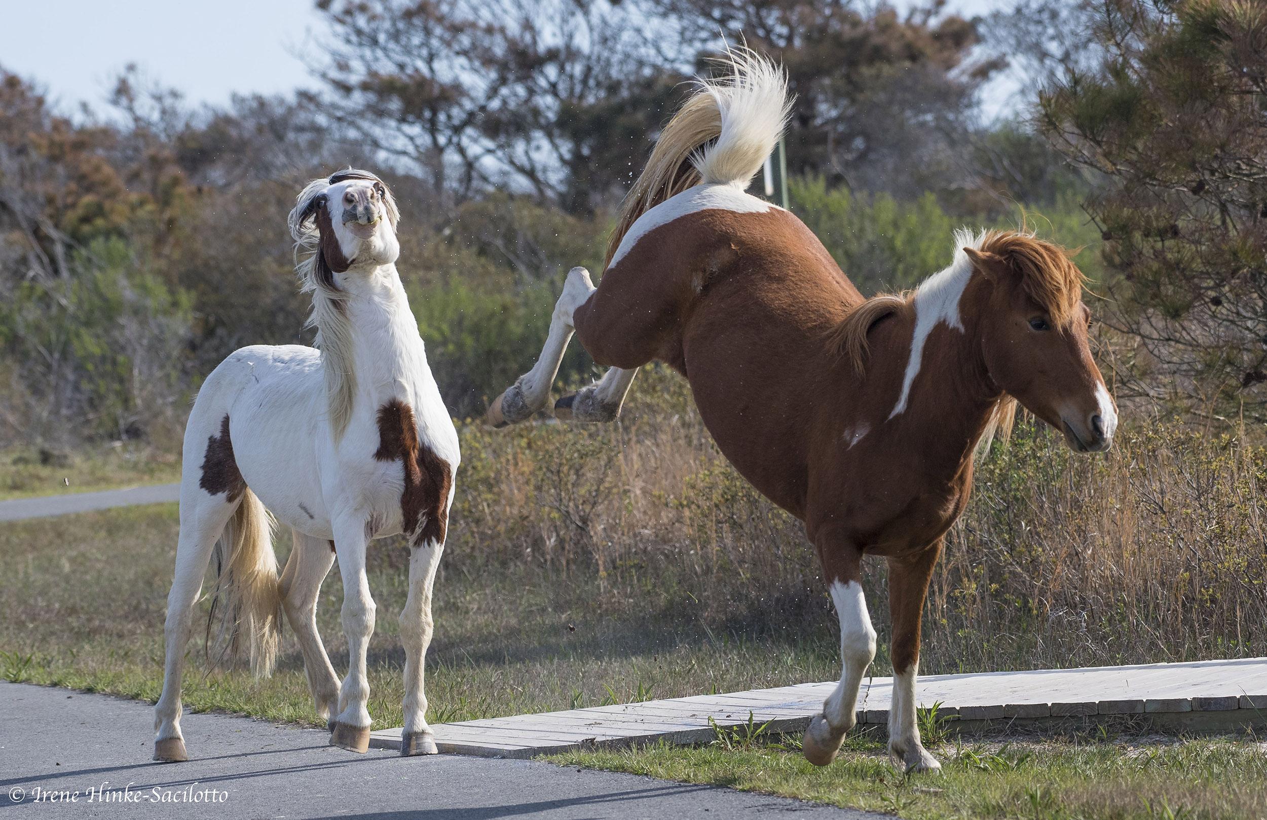 Wild Horses fighting on Assateague Island