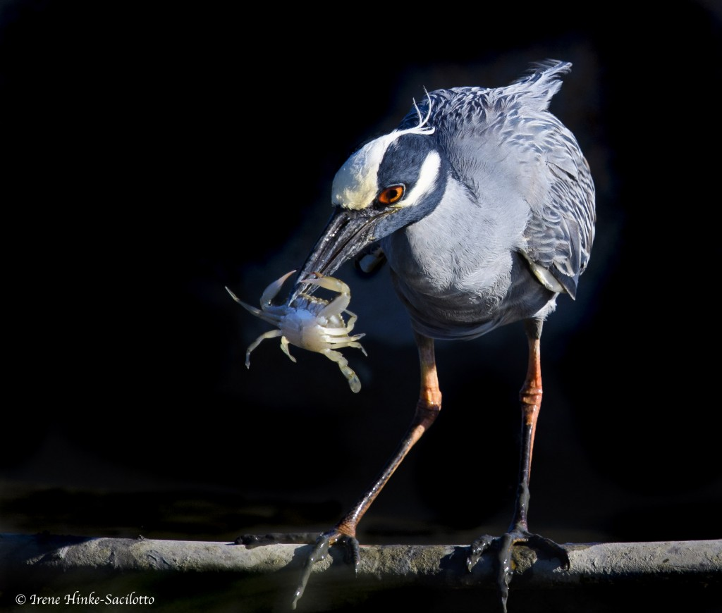 Yellow Crowned Night Heron with Crab on Tangier Island