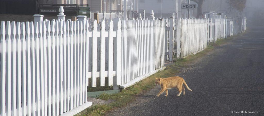 Tabby cat walking across road