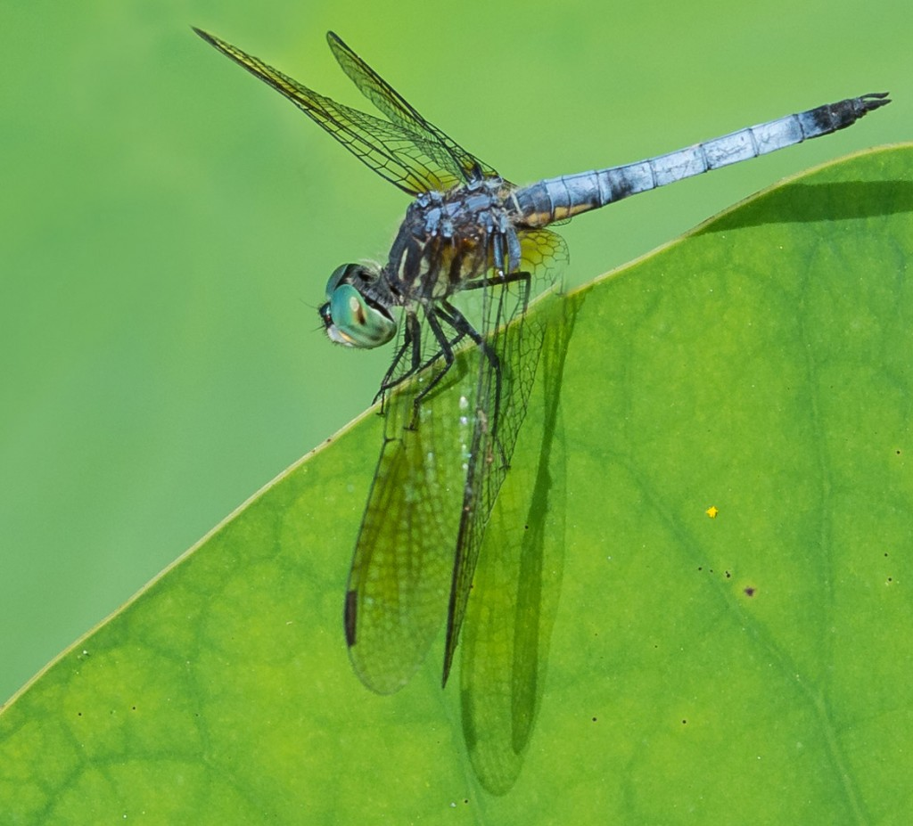 Dragonfly resting on leaf