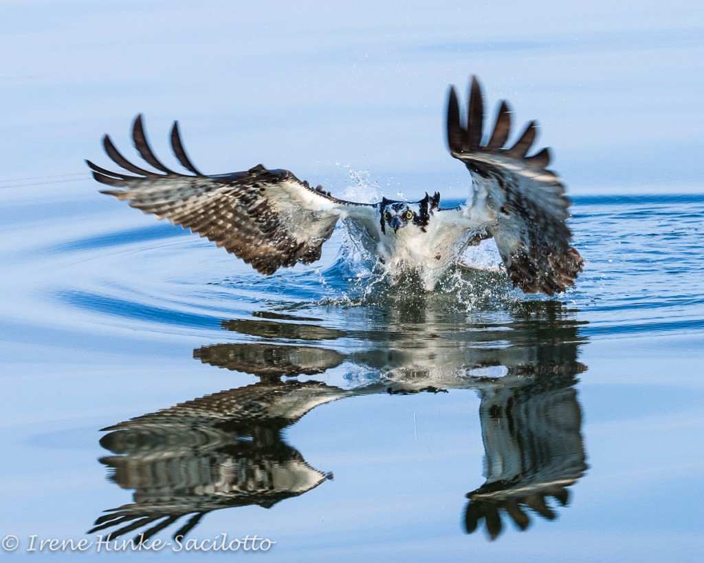 Osprey reflection in the water