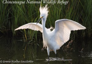 Snowy egret back lit wings up.